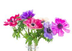 anemone flowers - stock photo