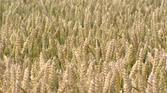Ripened wheat (triticum aestivum) in summer breeze - close up Stock Footage