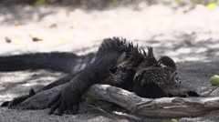 Marine iguanas spitting sea water in slow motion Stock Footage