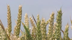 Wheat (triticum aestivum) ripening in summer breeze - close up Stock Footage