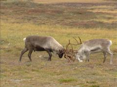 Reindeer (Rangifer tarandus ) males in competitive fight during rut - wide shot Stock Footage
