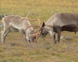 Stock Video Footage of Reindeer battle, the dominant bull pushes the rival away