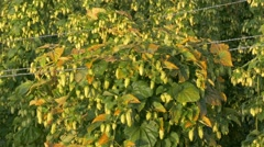 4K FHD Hops Farming in Bavaria Holledau or Hallertau September harvest period Stock Footage