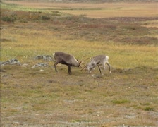 Reindeer (Rangifer tarandus ) males in fight during rut - tracking shot Stock Footage