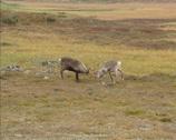 Stock Video Footage of Reindeer (Rangifer tarandus ) males in fight during rut - tracking shot