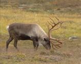 Stock Video Footage of Reindeer (Rangifer tarandus) bull grazes on lichen - side view