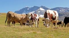 cattle in an alpine landscape - stock footage