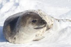 weddell seal pup who is turning his head in the snow - stock photo