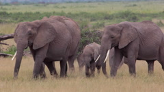 ELEPHANTS AFRICAN WILDLIFE - stock footage