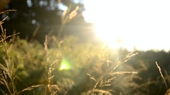 Grass of the field at sunrise in a meadow near the forest, Slovakia Stock Footage