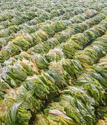 raw tobacco leaf from garden - stock photo