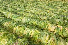 Stock Photo of raw tobacco leaf from garden