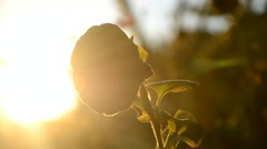 Withered Sunflower at sunset in the embrace of the sun's rays Stock Footage