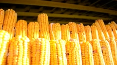 Dried corn cobs hanging on the string in the shed - stock footage
