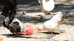 Bantam eating food on the ground. HD Stock Footage