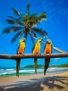 Blue-and-Yellow Macaw Ara ararauna parrots Stock Photos