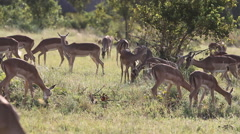 Large Group of Impala Grazing Stock Footage