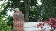 Roof raccoons 2 4k Stock Footage