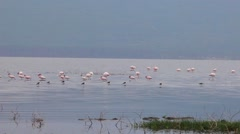 Flamingo looking for food in the lake. Stock Footage