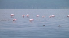 Flamingo by the lake. Stock Footage