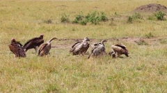 Vultures eating a wildebeest carcass. Stock Footage