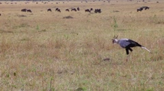 Secretary bird looking for prey in the grass. Stock Footage