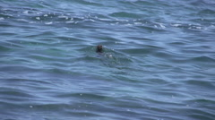 Marine iguanas swimming in the sea with a tourists snorkling next to him Stock Footage