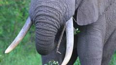 Elephant Eating Shurbs Stock Footage