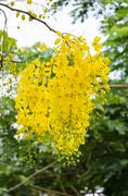 Purging cassia or ratchaphruek flowers ( cassis fistula ) Stock Photos