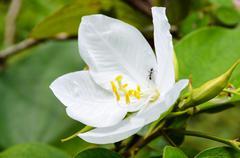 Snowy orchid flower ( bauhinia acuminata ) Stock Photos