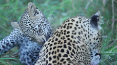 Leopard Cub and Mother Grooming and Playing Stock Footage