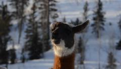 Stock Video Footage of llama or alpaca morning steam - 2 options in this clip