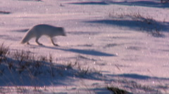 An Arctic fox hunts in the snow. Stock Footage