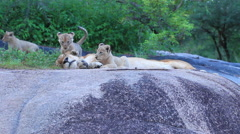 Lion Cubs Playing on Rock Stock Footage