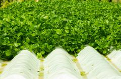 Watercress plants in hydroponic culture Stock Photos