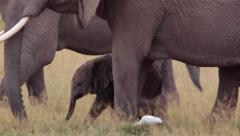 ELEPHANTS AFRICAN WILDLIFE Stock Footage