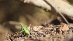 A Praying Mantis On The Hunt Stock Footage