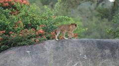 Lion Cub Walking on Rock Stock Footage