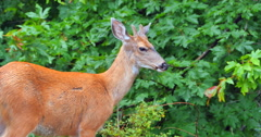 4K White-tailed Deer Close Up, Nature Telephoto Stock Video Stock Footage