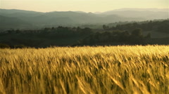 Early morning light on wheat field in hilly countryside Stock Footage