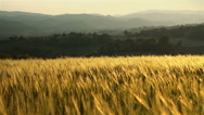 Stock Video Footage of Early morning light on wheat field in hilly countryside