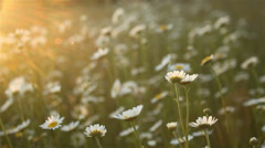 Flowery field with daisies in afternoon soft light Stock Footage