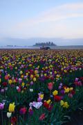 Tulip flower field Stock Photos