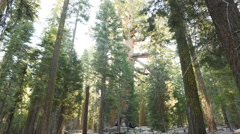 Time Lapse of Giant Sequoia Grove with Morning Sun Ray in Yosemite -Tilt Up- Stock Footage