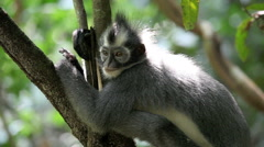 Thomas leaf monkey sitting in tree Stock Footage