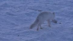 An Arctic fox runs across the snow. Stock Footage