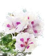 watercolor image of geranium flowers - stock illustration
