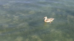 Duck eating, moving away from fish Stock Footage