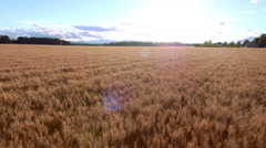 Aerial - Flight above the golden wheat field. Wheat waving by multicopter wind Stock Footage