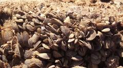 Quagga mussel Stock Footage